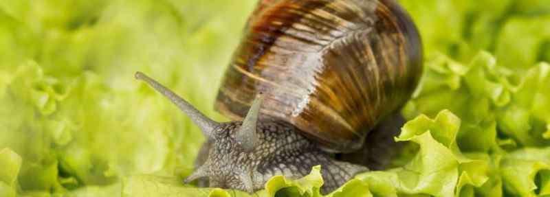蜗牛吃什么 蜗牛吃什么怎么养
