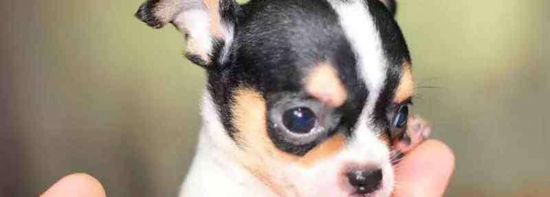 十大丑狗品种 十大最小的狗排名