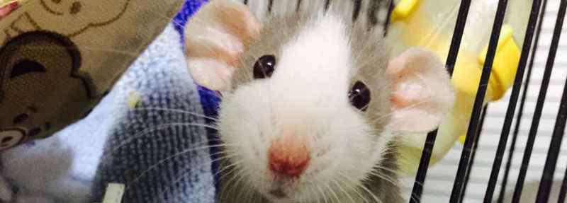 花枝鼠寿命 花枝鼠要死了的症状