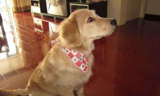 听话的小狗 十大最听话的狗排名,盘点世界上最温顺可爱的10大犬种