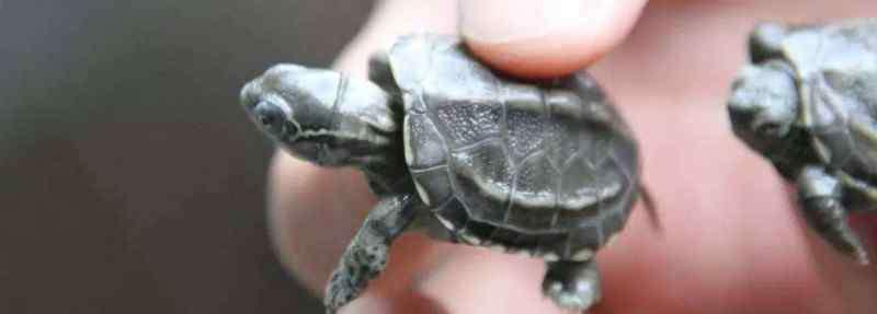 养乌龟放多少水合适 小乌龟怎么养放多少水