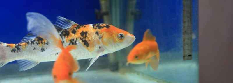 金鱼的记忆 金鱼的记忆有多久