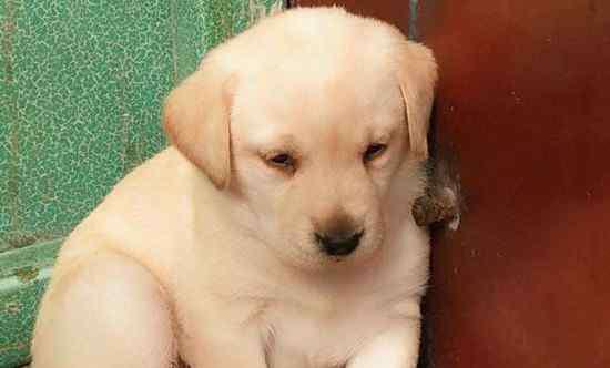 拉布拉多的优缺点 拉布拉多犬好养吗,乖巧温顺没攻击性适合家养