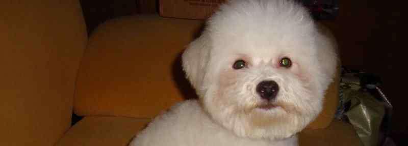 白色比熊 白色比熊和棕色泰迪串