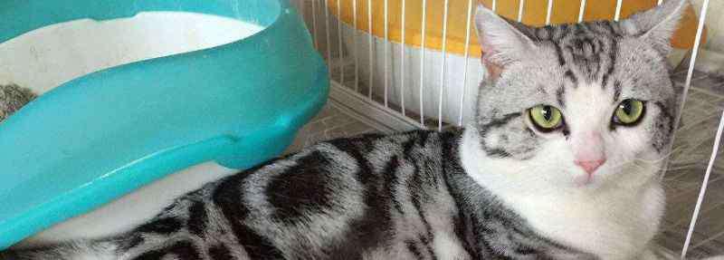 缅因猫缺点 美国短毛猫的性格缺点