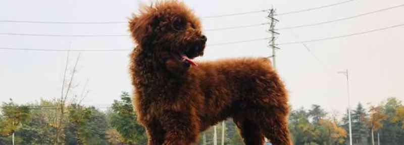 泰迪的优缺点 泰迪犬的优缺点有哪些
