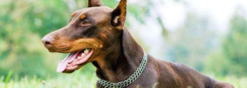 杜宾犬的优点和缺点 杜宾犬的优点与缺点