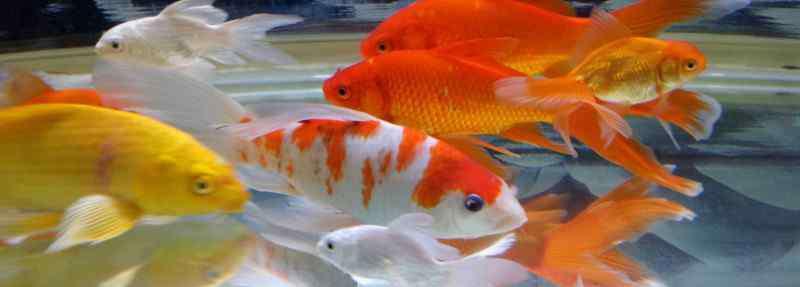 鱼尾巴上有红血丝 锦鲤鱼尾巴有红血丝怎么办