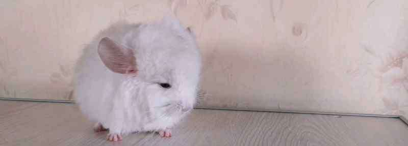 龙猫是老鼠吗 龙猫是仓鼠吗