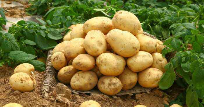 洋芋是土豆吗 马铃薯是土豆吗 马铃薯是不是土豆