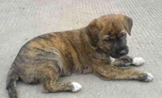 纯种虎斑犬多少钱一只 虎斑犬幼犬多少钱一只,价格在2000~10000元不等