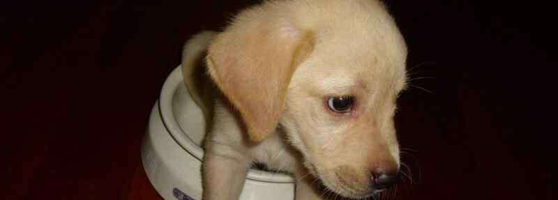 拉布拉多幼犬 拉布拉多幼犬喂养方法