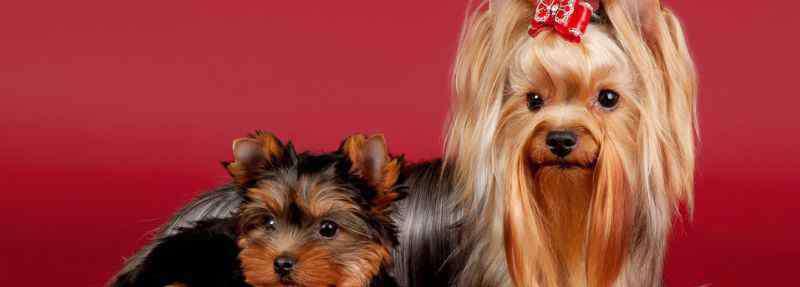 狗能吃苹果吗 狗狗可以吃苹果吗