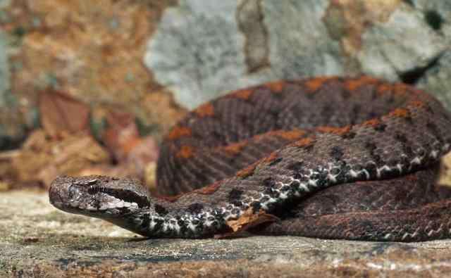 世界上最致命的蛇 世界最毒的毒蛇第一名