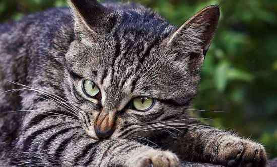 狸花猫智商排名 老外如何看待狸花猫,狸花猫在美国火了