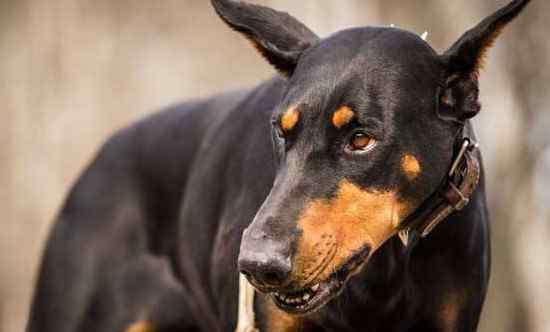 杜兵犬 杜宾犬价格多少一只,3种级别杜宾的价格详情