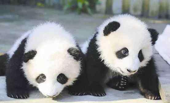 四川大熊猫基地 四川大熊猫基地