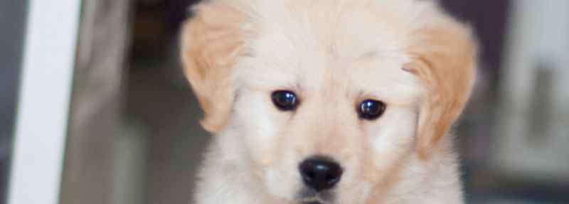打金毛会记仇吗 幼犬被打它会记仇吗