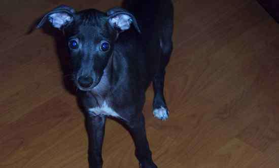 狗狗可以吃苹果吗 幼犬能吃苹果吗,狗狗2个月后能够吃苹果