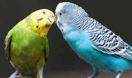 虎皮鹦鹉什么颜色最贵 虎皮鹦鹉什么颜色最贵
