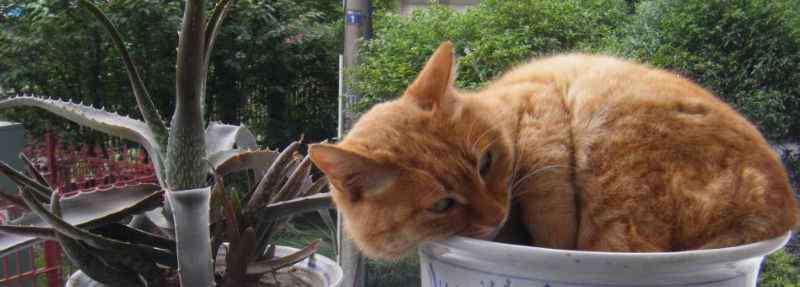 肠梗阻能活多久 肠梗阻多久猫咪会死