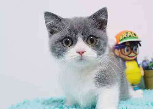 蓝白猫是什么品种 蓝白猫价位一般在多少