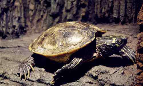 观赏龟的种类 龟类品种大全介绍图解