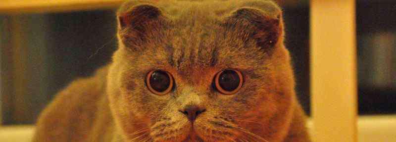 折耳蓝猫能活多少年 英短折耳蓝猫能活几年