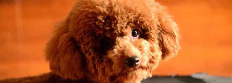 泰迪犬指甲怎么剪 泰迪犬指甲怎么剪
