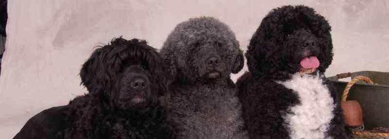 葡萄牙水犬 葡萄牙水犬和泰迪区别