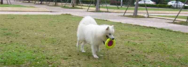 狗狗鼻头褪色什么原因 萨摩耶鼻子褪色