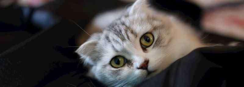 猫怀孕多久 美短猫怀孕多少天生产