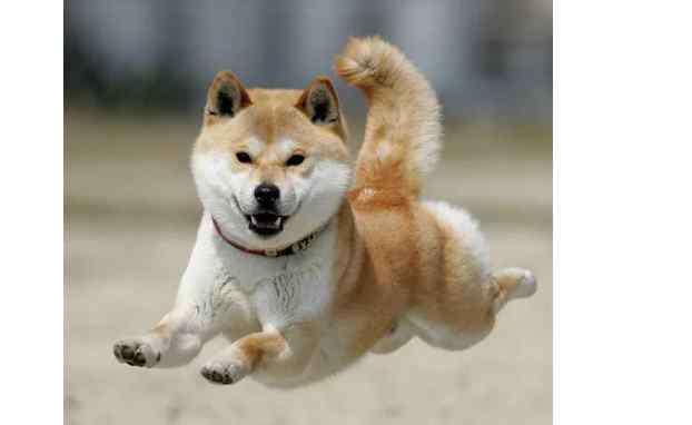 日本狗秋田犬 秋田犬为什么是禁养犬种