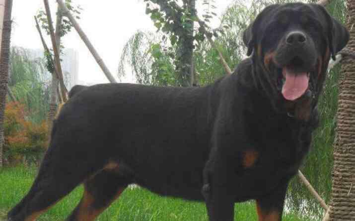 伯德梗 中国家禁养的26种狗
