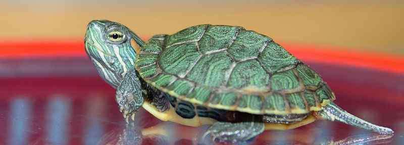 乌龟壳翘起来了怎么回事 乌龟背上的壳翘起来了