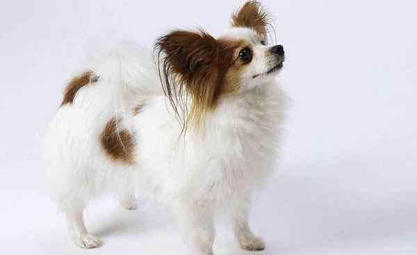 蝴蝶犬幼犬 蝴蝶犬为什么养的人少 都有哪些因素