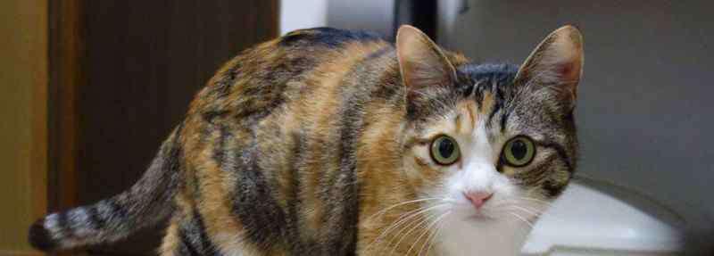 猫要打几针疫苗 猫要打几针疫苗