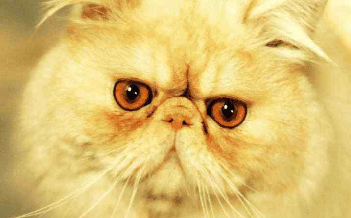 波斯猫为什么不能养 加菲猫为什么不能养