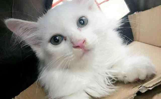 色猫 中国八大名猫乌云盖雪
