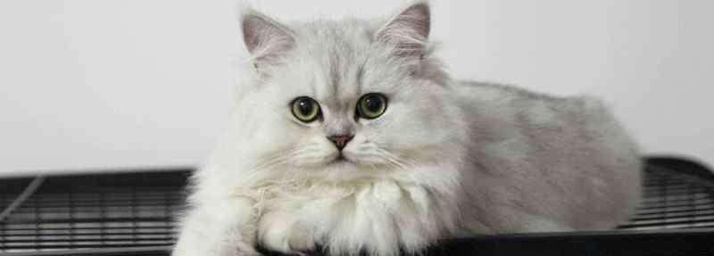 猫一直叫是为什么 小猫咪一直叫个不停是怎么回事