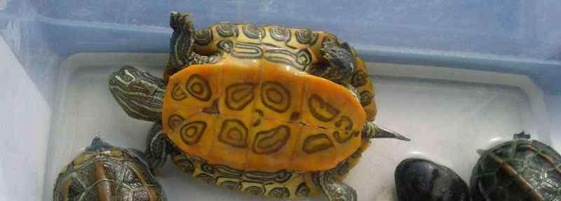 乌龟临死前的征兆 乌龟死了有什么预兆