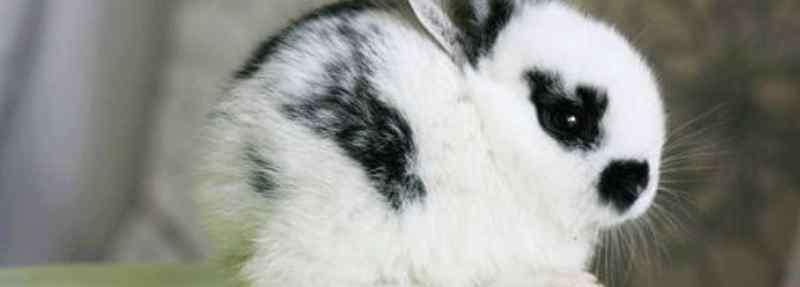 熊猫兔 熊猫兔怎么养才不会死
