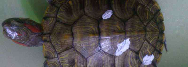 乌龟白眼病治疗 乌龟得了白眼病能治好吗