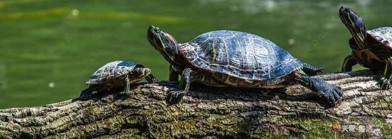 中华草龟吃什么 长寿龟吃什么 长寿龟吃什么会长大
