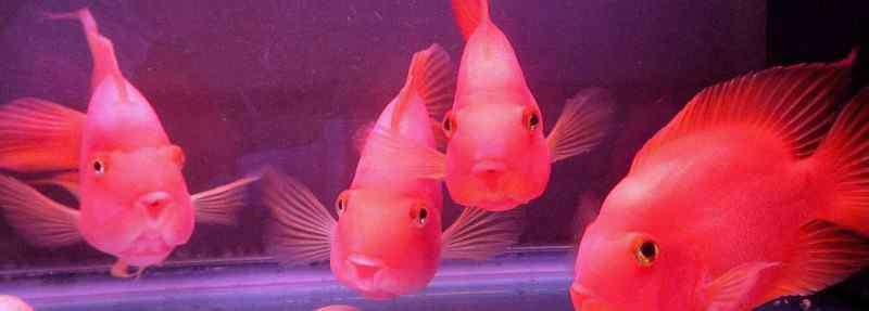 鹦鹉鱼吃什么 鹦鹉鱼吃什么