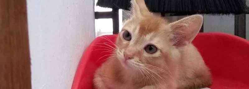 小奶猫多大开始认主人 小奶猫多大可以清理耳朵
