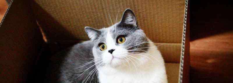 公猫最佳绝育时间 英国短毛猫绝育最佳时间