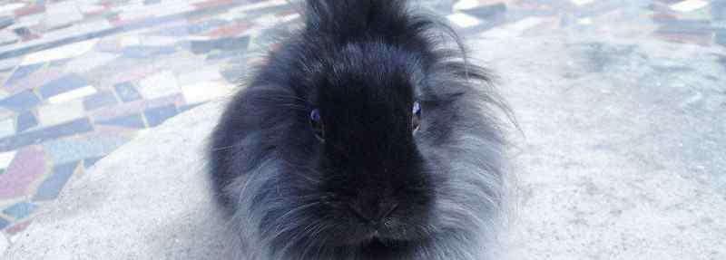 狮子兔 狮子兔认主吗,养了2-3个月的狮子兔会认主人