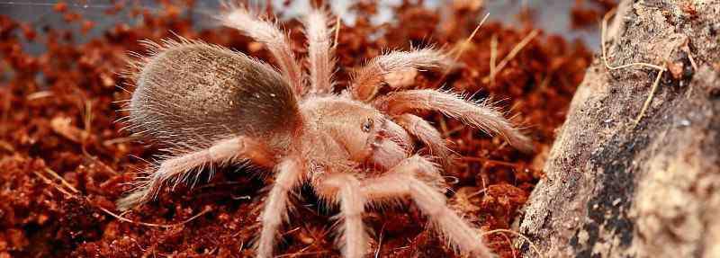 智利火玫瑰 火玫瑰蜘蛛寿命有多长时间,如何饲养智利火玫瑰