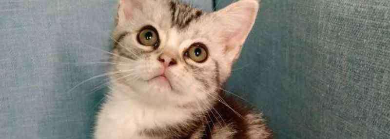 起司猫和美短的区别 起司猫和美短的区别